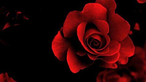koleksi gambar bunga mawar  indah  romantis