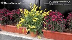 Alpenveilchen Gelbe Blätter : ginster im topf f r balkon und terrasse erfahrungen ~ Lizthompson.info Haus und Dekorationen