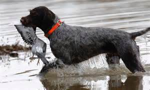 german wirehaired pointer dog breed standards