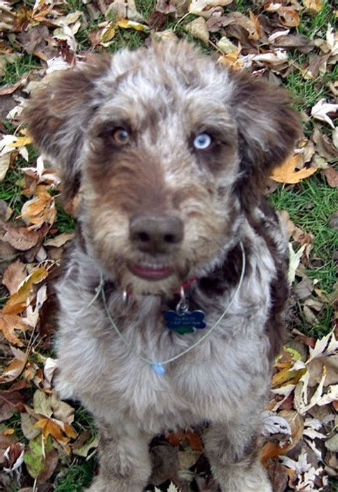 aussiedoodle aussiedoodles dogs shepherd australian puppies dog merle doodle doodles poodle airedale breeders aussie terrier mix breed standard airedoodle labradoodle