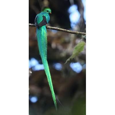 Murf's Wildlife : Resplendent Quetzal