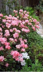 'Pink Pearl' azaleas on limestone ledge   These Kurume ...