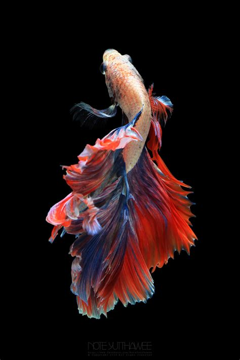 Animated Koi Fish Wallpaper - koi fish wallpaper