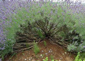 Lavendel Wann Schneiden : lavendel richtig schneiden garten pinterest ~ One.caynefoto.club Haus und Dekorationen