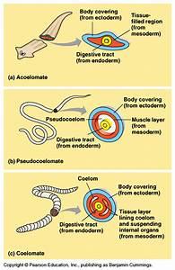 Body Plans  Acoelomate  Pseudocoelomate  Coelomate