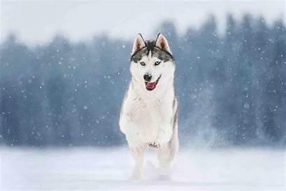 Husky Dog Apk