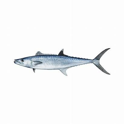 Fish King Aruba Species Mackerel Kingfish Local