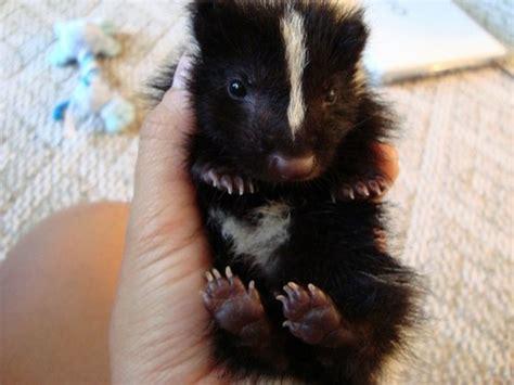 skunks as pets pet wish list 4 descented baby skunk skunks 8 pinterest