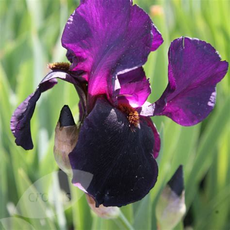 buy bearded iris iris black swan