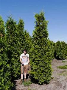 Thuja Brabant Wachstum : thuja occidentalis 39 brabant 39 lebensbaum 39 brabant 39 350 ~ Michelbontemps.com Haus und Dekorationen