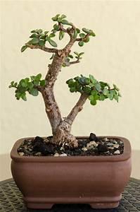Bonsai Stecklinge Machen : ein jadebaum bonsai portulacaria afra nach ber einem jahr gestaltung ~ Indierocktalk.com Haus und Dekorationen
