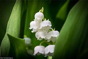 Quand Planter Le Muguet : muguet plantation entretien promesse de fleurs ~ Melissatoandfro.com Idées de Décoration