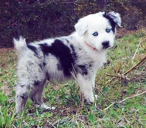 Pics For > Australian Shepherd Puppies Blue Eyes | Animals ...