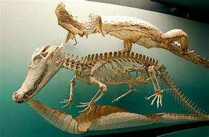 Crocodlie And Turtle Skeleton Diagrams   - General Fossil Discussion