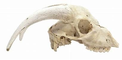 Goat Skulls Skull Mammal Wild Common Teeth