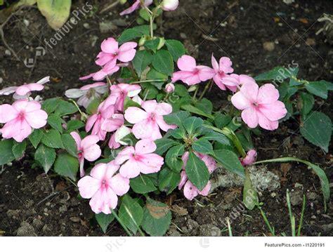 photo pink impatiens plant