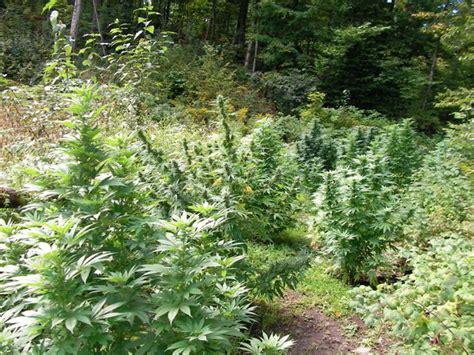graines de cannabis pour la culture en ext 233 rieur graines de