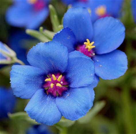 blue summer flowers summer flower blue summer flowers