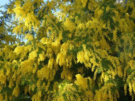 mimosa un arbuste plein d atouts