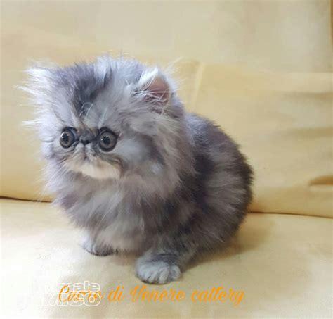 Gatti Persiani Cuccioli by Vendita Cucciolo Persiano Da Privato A Oristano Cucciolo