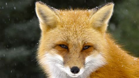 The Red Fox A Rare Look Into The Life Of One Of The Most
