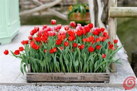 bulbi tulipani in vaso tulipani narcisi giacinti quando piantarli casa e trend
