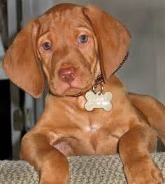 Do Weimaraner Dogs Shed A Lot by Oh Yeah Adorable Puppies