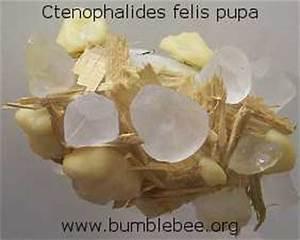Siphonaptera - fleas | www.bumblebee.org