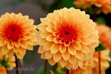 Dālijas - Ziedi - redzet.lv