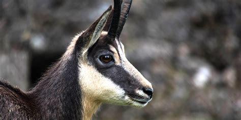 gaemse saeugetiere natur und tierpark goldau