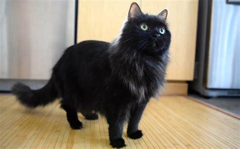 Harga Emina Dan Gambarnya kucing tiffanie sejarah ciri fisik karakter harga dan