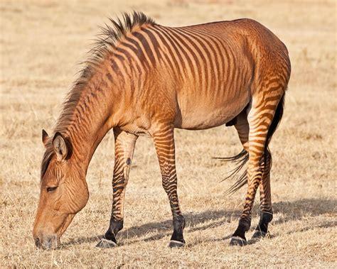 zebra horse zebras horses animal animals hernandez jose aberdare country club character