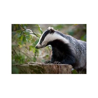 Related Keywords & Suggestions for european badger