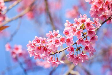 Image Sakura Pink color flower Branches Closeup Flowering