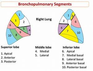 Lungs - gross features, hilum, relations, bronchopulmonary ...
