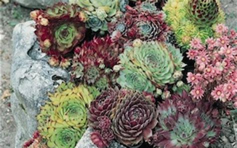 hens and plant for sale image gallery hens and chicks varieties
