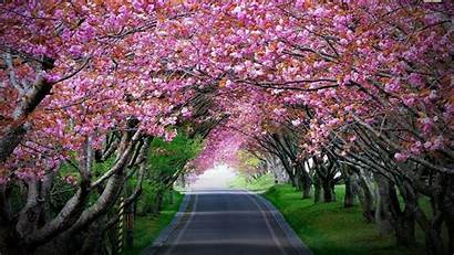 Cherry Blossoms Shillong Bloom