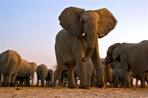 Elephant, African savannah