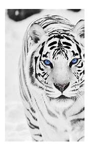 White Tiger HD Wallpapers - Top Free White Tiger HD ...