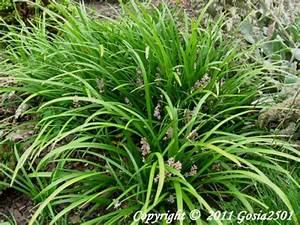 Lang Blühende Pflanzen : liriope liriope muscari pflanzen enzyklop die ~ Eleganceandgraceweddings.com Haus und Dekorationen