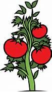 Predise  adas tomate planta vector   Vectores de dominio p  blico  Vector Tomato Png