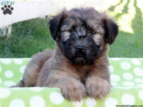 wheaten terrier mix shedding 17 best images about non shedding dogs on