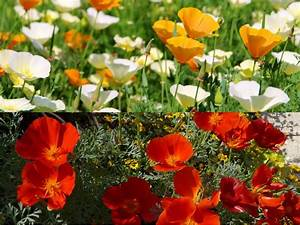 Garten Mohn Sorten : saatgut samen kalifornischer mohn eschscholzia ~ Michelbontemps.com Haus und Dekorationen