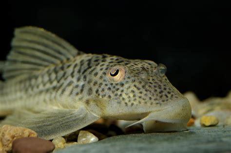 types  aquarium catfish pet ponder