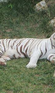 Snoozing White Tiger - ZooChat | White tiger, Tiger, Snoozing