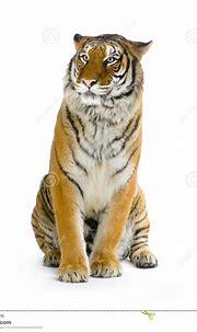 Tiger sitting stock photo. Image of furry, predator ...