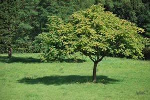 Laubbaum Mit Roten Blättern : g tterbaum ailanthus altissima pflanzen und pflege ~ Frokenaadalensverden.com Haus und Dekorationen