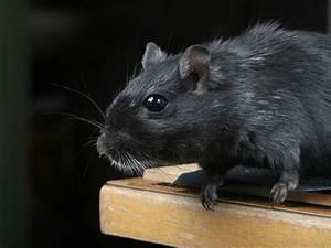 Ratte Im Haus : rattenfalle und rattenk der ungeziefer ratgeber ~ Buech-reservation.com Haus und Dekorationen