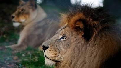 Lion Lions Wallpapers Backgrounds Desktop Computer Windows