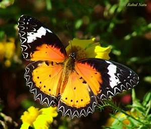 Most Beautiful Butterflies - Butterflies Photo (25176424 ...